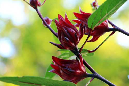 Roselle flower
